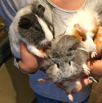new guinea pigs 1 small