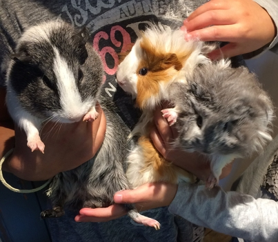 new guinea pigs 3 small