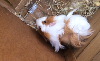 new guinea pigs 4 small